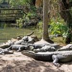 Alligators, Brevard Zoo c. J. P. Mahon, 2013