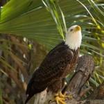 Eagle, Brevard Zoo c. J. P. Mahon