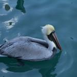 Pelican c. J. P. Mahon