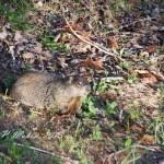 Ground Hog in our Backyard