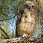 The owlet has left the nest