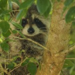 Raccoon hiding in tree