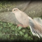 Mourning Dove of Peace