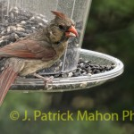 Cardinal on my feeder