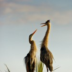 Mating Blue Herons